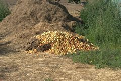 Over-ripe apples dumped on a pile with old used straw mixed with manure that will be plowed under as organic fertilizer. Over-ripe apples dumped on a pile with royalty free stock photos