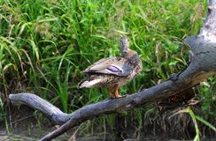Over the River. Duck Flew to the branch of a fallen tree over the river. There she began to bask in the sun and watch me. She swayed, sometimes looking around Stock Image