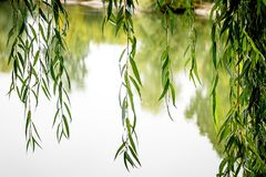 Over river hang willow branches, bright summer day_ royalty free stock photo