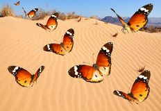 Over sandy desert. Butterflies flying over sandy desert stock photo