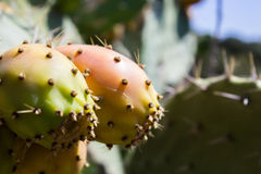 Over the spikes under the sweet and succulent fruit Stock Photos