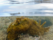 Over-under split shot of marine slug in seaweed Royalty Free Stock Photo
