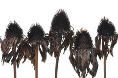 Overblown black flowers isolated on white background Stock Image
