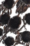 Overblown black flowers isolated on white background Stock Photos
