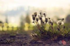 Overblown bloom of few dandelions Stock Photography