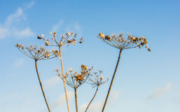 Overblown cow parsley against a blue sky from close Stock Photography
