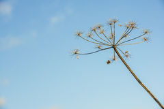 Overblown cow parsley against a blue sky from close Stock Image
