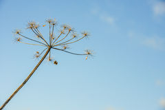 Overblown cow parsley against a blue sky from close Stock Photos