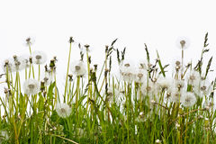 Overblown dandelion flowers on a white background Royalty Free Stock Images