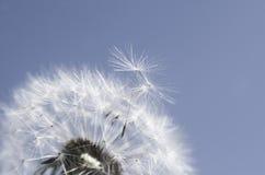 Overblown dandelion Stock Photos