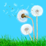 Overblown dandelions in the grass Royalty Free Stock Image