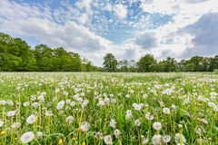Overblown dandelions in meadow with blue sky and clouds Royalty Free Stock Photography