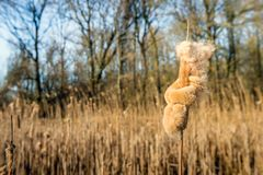 Overblown female flower spike of Typha latifolia. Overblown female flower spike of a common bulrush or Typha latifolia plant in a marshy area of a Dutch nature stock photo