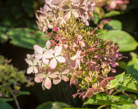 Overblown flowers of a white Panicle Hydrangea from close Stock Photos