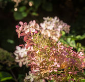 Overblown flowers of a white Panicle Hydrangea from close Stock Photo
