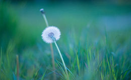 Overblown fluffy dandelion Royalty Free Stock Image