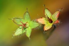Overblown Geranium pratense flowers Stock Images