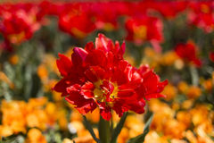 Overblown red tulip Stock Photography