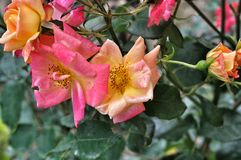Overblown roses Royalty Free Stock Photos