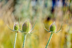 Overblown wild teasel plants from close Royalty Free Stock Photos