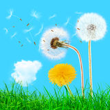 Overblown and yellow dandelions in the grass Royalty Free Stock Photos
