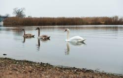 Overcast, лебеди, озеро, река, птицы, водоплавающая птица стоковое изображение