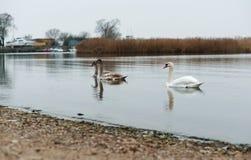 Overcast, лебеди, озеро, река, птицы, водоплавающая птица стоковая фотография rf