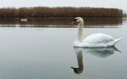 Overcast, лебеди, озеро, река, птицы, водоплавающая птица стоковая фотография
