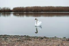 Overcast, лебеди, озеро, река, птицы, водоплавающая птица стоковое фото