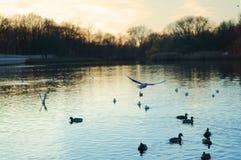 Overcast, лебеди, озеро, река, птицы, выравниваясь стоковые изображения