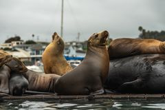 Sea Lions Close Up, Seal Colony on a Floating Dock. Overcast Day, California Coastline, Seal Colony in Morro Bay, California Coastline royalty free stock photos