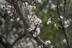 Overcast light in an orchard with Prunus dulcis or Prunus amygdalus trees in bloom Royalty Free Stock Photography