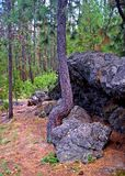 Overcomer. A young ponderosa pine overcomes growing next to a rock by curving up and over it. At McKay Crossing campground near La Pine, OR royalty free stock photo