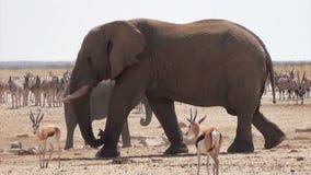Overcrowded waterhole with Elephants, zebras, springbok and orix stock video footage