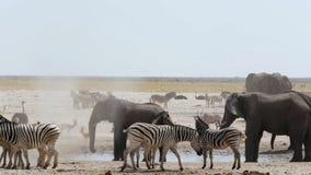 Overcrowded waterhole with Elephants, zebras, springbok and orix stock footage