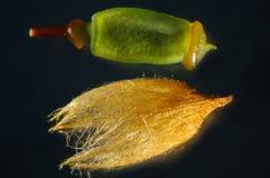 Overdreven capsule en calyptra van een haarglb mos van Connecticut royalty-vrije stock afbeeldingen