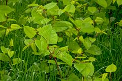 Young gree Japanese knotweed plants in the grass - Fallopia japonica. Overhead picture of young Japanese knotweed plants, a badly invasive species taking voer Royalty Free Stock Photos