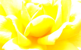 Overexposed yellow rose background Royalty Free Stock Photo