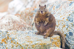 Overfed Fat Squirrel. Royalty Free Stock Photos