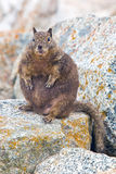 Overfed Fat Squirrel. Royalty Free Stock Image