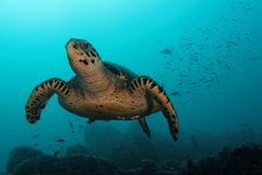 Overflying turtle at Ras Korali royalty free stock photography