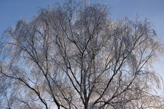 Overfrozen back lighted birch tree. And clear blue sky Royalty Free Stock Photography