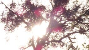 Overgebelichte eiken boom tegen het plaatsen van zon stock afbeelding