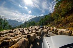 Overgehelde mening van geschoren schapen op landelijke weg met een auto die probeert over te gaan Één schaap bekijkt de camera Az stock foto