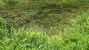 Overgrown пруд в парке 4K видеоматериал