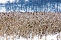 Overgrown тростники в зиме стоковые фотографии rf