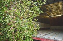 Overgrown фруктовое дерев дерево внутри старого трейлера стоковые изображения rf