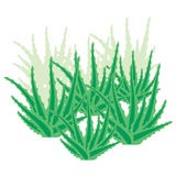 Overgrown Aloe Vera Royalty Free Stock Images