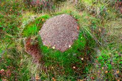 Overgrown Anthill in Autumn Taiga Forest Stock Image
