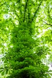 Overgrown chestnut tree trunk in city park or forest. Green foliage nature background. Natural shelter and roof. Outdoor wood leaf summer plant environment stock photography